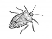 Green shield bug insect sketch engraving vector illustration Scratch board style imitation Black and white hand drawn image