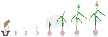 Cycle of growth of a plant of a garlic isolated on...