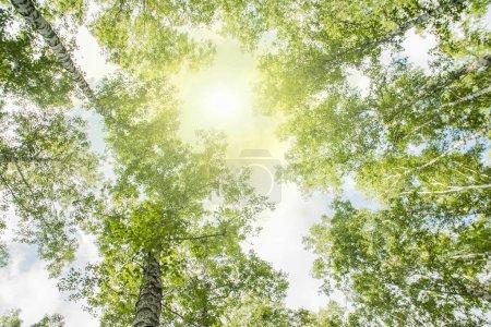 Photo pour Vue du dessous de la cime des arbres dans la forêt de l'été - image libre de droit
