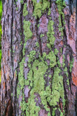 Photo for Close - up of green moss on the tree bark - Royalty Free Image