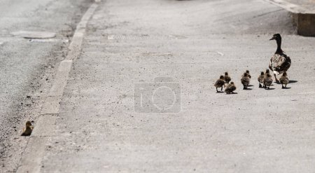 female Mallard duck with chicks. One chick left behind.