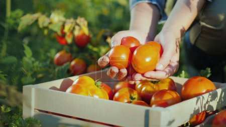 Photo for The farmers hands hold a few tomatoes, next to it there is a wooden box with tomatoes. - Royalty Free Image