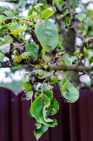 Photo for Leaves of fruit trees affected by fungal diseases. - Royalty Free Image