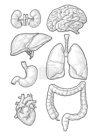 Illustration pour Organes d'anatomie humaine. Cerveau, rein, cœur, foie, estomac, poumons, côlon, gros intestin. Gravure vintage vectorielle noire isolée sur blanc. Elément de design dessiné à la main pour étiquette, affiche, web - image libre de droit