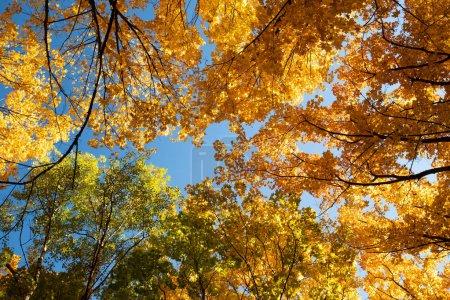 Photo pour Vue du dessous de futaies de branche avec des feuilles colorés bleu ciel sur coucher de soleil en automne Park. - image libre de droit