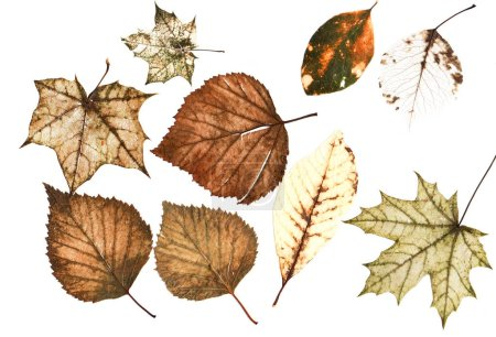 Photo for Set of many bright multi-colored old dilapidated autumn leaves of different trees on white background - Royalty Free Image
