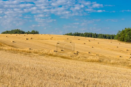 Photo for Belorussian meadows at the harvest time, Belarus - Royalty Free Image