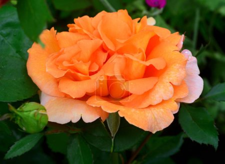 Beautiful flowers roses peach colour with bud in the garden on a lawn background. Clear sunny spring morning and soft lighting. Landscape design. Nature. Perennial plants. Flat lay, top view