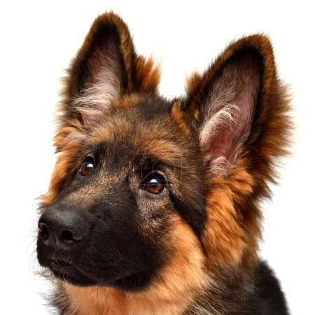 Fluffy German Shepherd dog isolated on white background. Puppy is beautiful, funny and attentive. Portrait, close-up. Good, plush