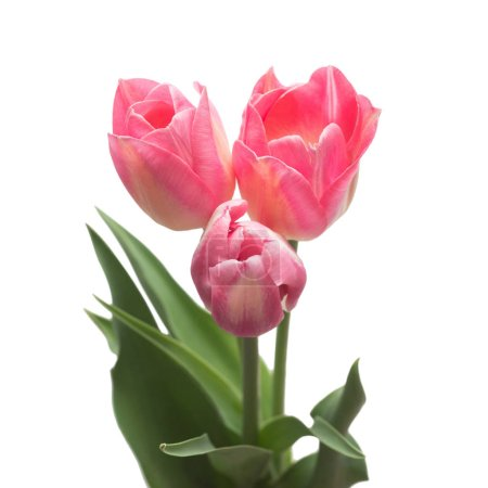 Bouquet pink tulips flowers isolated on white background. Still life, wedding. Flat lay, top view
