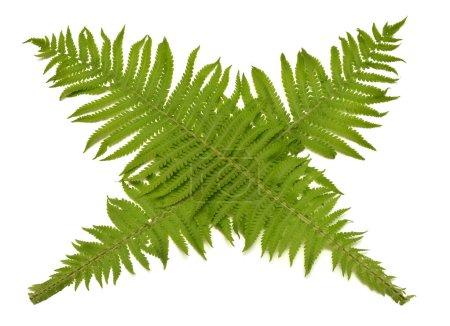 Photo pour Branches avec fougère feuilles isolé sur fond blanc. Signe de l'interdiction. Motif floral, objet. Vue plate Lapointe, top - image libre de droit