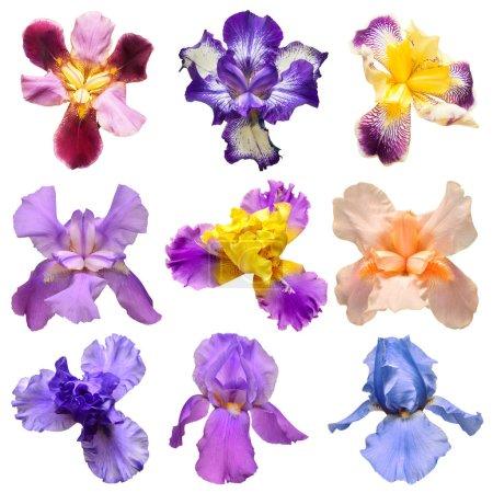 Photo pour Collection d'iris multicolores fleurs isolées sur fond blanc. Bonjour le printemps. Couché à plat, vue de dessus. Objet, studio, motif floral - image libre de droit