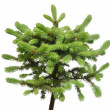 Spruce picea pungens glauca globosa isolated on wh...