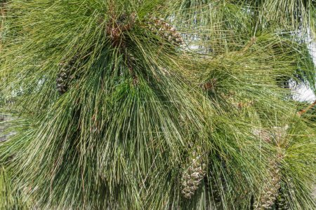 Photo for Huge needles of the Canary pine help the tree to extract water from the air saturated with moisture. - Royalty Free Image