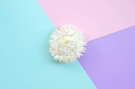 Photo for White Chrysanthemum flower on pastel blue pink and lilac background top view. Flat lay style minimalism - Royalty Free Image