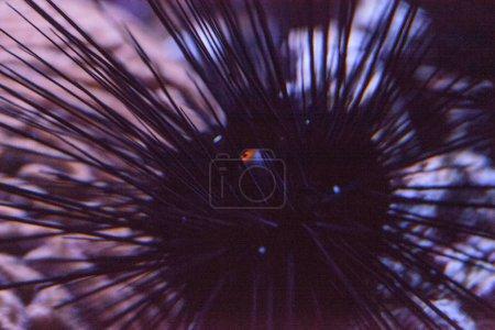 Photo pour Oursins noirs à longues épines Diadema setosum étend un centre de balle orange qui est en fait un sac anal . - image libre de droit