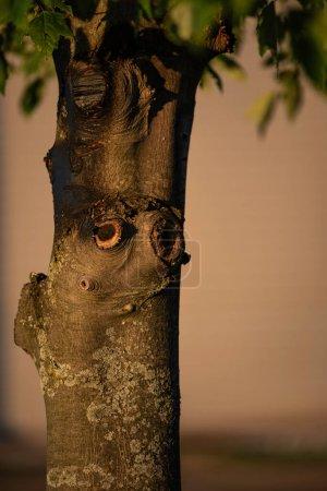 Photo pour Arbre avec de nombreuses branches coupées a beaucoup de caractère de trous de noeud et lichen - image libre de droit