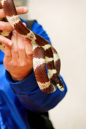 Boy with snakes. Man holds in hands reptile Common King snake Lampropeltis getula kind of snake. Exotic tropical cold-blooded animals, zoo. Pets at home snakes. Poisonous and non poisonous snake.