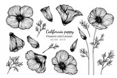Collection set of california poppy flower and leaves drawing ill