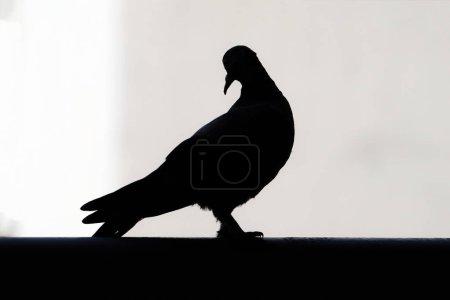 Photo pour Pigeon colombe silhouette noir sur fond blanc - image libre de droit