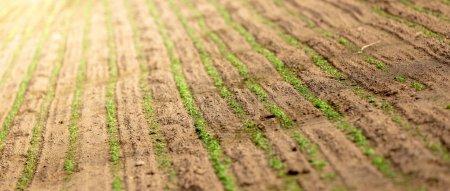 Foto de Campo de la agricultura de granja con plantas verdes - Imagen libre de derechos
