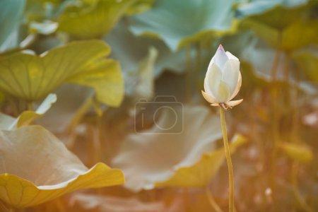 Photo pour Beau lotus blanc sur le lac de lotus au coucher du soleil. Concept de calme, d'harmonie et de paix - image libre de droit