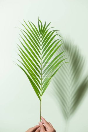 Photo for Vertical framing male hands holding a palm leaf in bright light on a white background - Royalty Free Image
