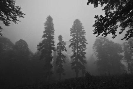 Photo pour Trois épinettes.. Forêt brumeuse dans le légendaire Colchis grec antique, Caucase, Abkhazie . - image libre de droit
