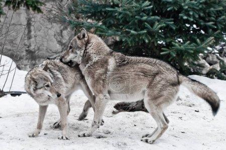 Photo pour Les loups sont mâles et femelles pendant l'ornière (jeux d'accouplement), le loup prend soin de la louve, les animaux prédateurs jouent, l'hiver est un fond neigeux . - image libre de droit