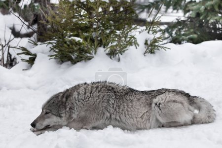 Photo pour Le loup repose allongé sur la neige sur toute sa longueur. Loups en hiver . - image libre de droit