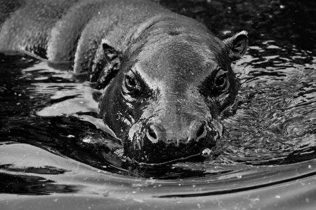 Photo pour Museau dans l'eau. pygmy hippo (Pygmy hippopotamus) est un joli petit hippo.black et blanc . - image libre de droit
