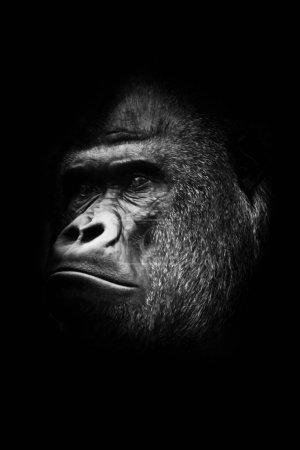 foto en blanco y negro, macho de popa. Retrato poderosa ma dominante