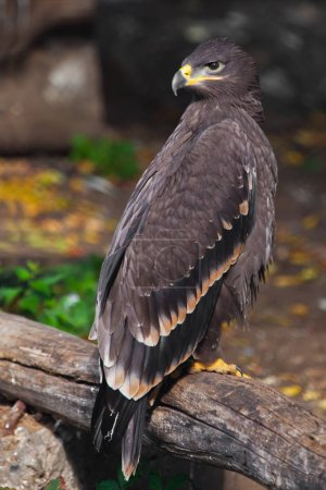 large steppe eagle sits beautifully consecrated by the sun, a p