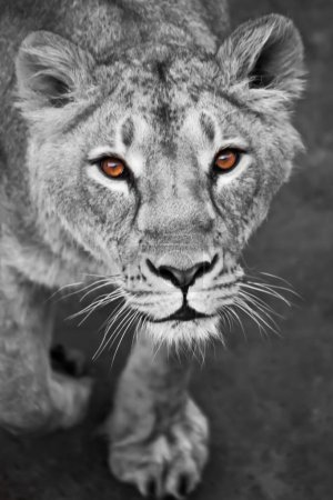 Photo for The lioness looks at you, the face of the Livitz and the look.s. lionesses black and white photo, colored yellow eyes. - Royalty Free Image