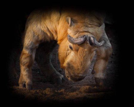 Illuminated by the sun powerful horned hairy bull....
