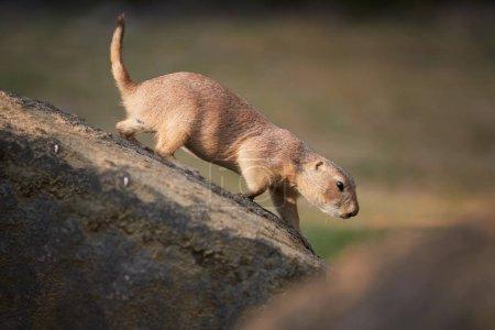 Chien de prairie Cynomys ludovicianus. Rongeur, gardien d'une colonie sur un rocher, observant les environs. Grandes plaines d'Amérique du Nord .