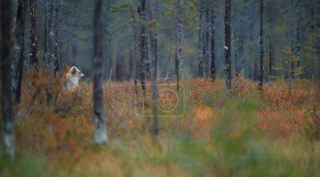 Seul ourson brun, Ursus arctos, presque blanc, debout dans l'herbe rouge d'automne, surveille attentivement l'environnement dans la forêt colorée de taïga d'automne. Paysage de la taïga avec ours brun, Russie .