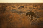 """Постер, картина, фотообои """"Крупным планом, панорамная фотография пятнистая гиена, Crocuta crocuta с вертикально, backlighted гривой, две гиены, работающие на сухие саванны рано утром. Фотографии дикой природы в национальном парке Этоша, Намибия"""""""
