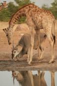 """Постер, картина, фотообои """"Вертикальные фото огромные Антилопы Канна, Канны Орикс, стоя под ангольский Жираф, пить из источника. Животные засушливых Этоша, Намибия."""""""