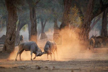 Photo pour Antilope Eland, Taurotragus oryx, deux mâles combattant dans un nuage orange de poussière, illuminé par le soleil du matin. Angle bas, animaux en action, photographie animalière en Mana Pools, Zimbabwe . - image libre de droit