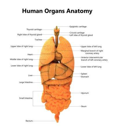Photo pour Illustration 3D de l'anatomie des organes du corps humain - image libre de droit