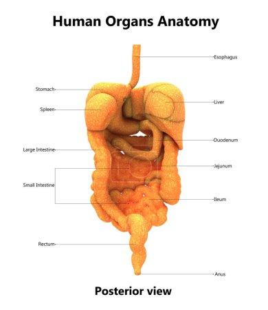 Photo pour Illustration 3D de l'anatomie du système digestif humain - image libre de droit