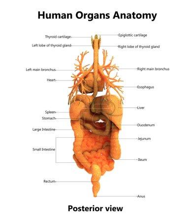 Photo pour Illustration 3D de l'anatomie des organes corps humain - image libre de droit