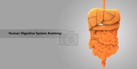 Photo pour Illustration 3D de l'anatomie de l'appareil digestif - image libre de droit