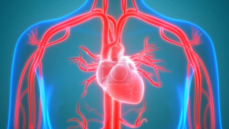 Photo pour Human Body Organs (Heart Anatomy) - image libre de droit
