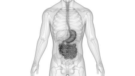 Photo pour Système digestif humain anatomie (estomac, intestin grêle) - image libre de droit