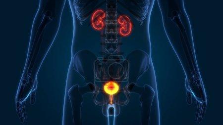 Photo pour Organes du corps humain (les reins à la vessie) - image libre de droit