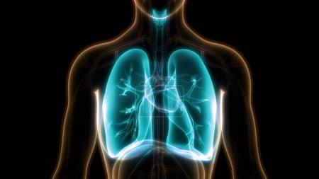 Photo pour Illustration 3D du système respiratoire humain, anatomie des poumons - image libre de droit