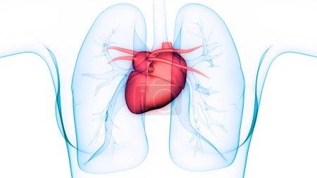 Photo pour Organes du corps humain (Anatomie du cœur et des poumons) - image libre de droit
