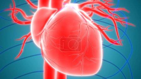 Photo pour Organes du corps humain (Anatomie cardiaque ) - image libre de droit